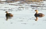 Least Grebe and Pied-billed Grebe