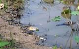 American Alligator guarding hatchlings