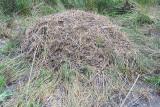 American Alligator's nest - 2005