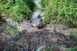 American Alligator guarding nest - 2009