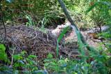 American Alligator's Nest - 2009