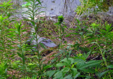 American Alligator guarding nest - 2007