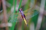 Hyacinth Glider