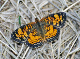 Crescents & Checkerspots