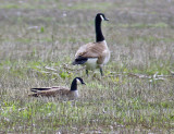 Cackling Goose with Canada Goose (Giant race)