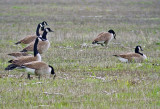 Canada Geese (Giant race)