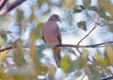 Pigeons, Doves & Cuckoos