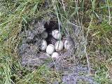 Mallard's Nest