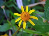 Oppositeleaf Spotflower (Acmella repens)