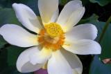 American Lotus (Nelumbo lutea)