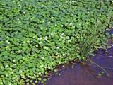 Floating Pennywort (Hydrocotyle ranunculoides)