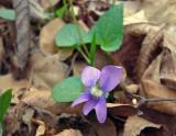 Violet species