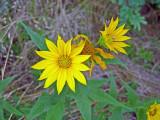 Hairy Sunflower (Helianthus hirsutus)