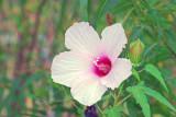 Halberd-leaved Rose Mallow (Hibiscus laevis)