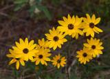 Swamp Sunflower (Helianthus angustifolilus)