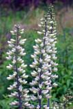 White Wild Indigo (Baptisia leucantha)