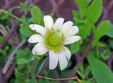 Anemone species