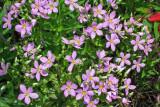 Rosepinks (Sabatia angularis)