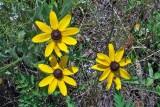 Rudbeckia species