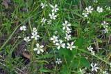 Sandwort (Arenaria patula)