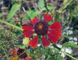 Sneezeweed (Helenium species)