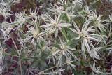 Snow-on-the-Prairie (Euphorbia bicolor)