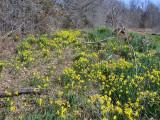 Daffodils in Unit 36