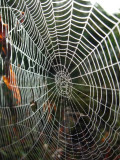 Spider's Web with Dew