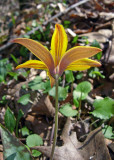 Yellow Trout Lily (Erythronium rostratum)