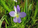 Johnny Jump-Up (Viola bicolor)