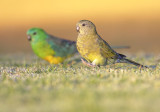 Red Rump Parrots