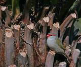 Red Browed Finch.jpg