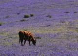 Brown Cow and Purple Field.jpg