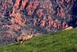 Chace Range Emu.jpg
