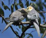 Australian Cockatiels