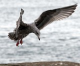 Whitby seagull - cleared to land