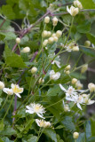 Virgin's Bower (Clematis lasiantha)