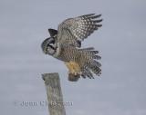 Chouette éperviere ( Northern Hawk