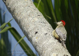 Pic  à ventre roux- Red-bellied Woodpedcker