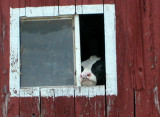 cow in the barn window...