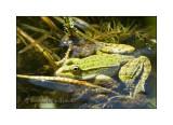 Rana verde comune (Esculenta) - Edible Frog