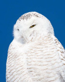 Snowy Owls & Great Gray Owls