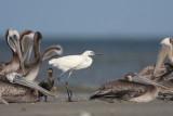 Reddish Egret w/Brown Pelicans