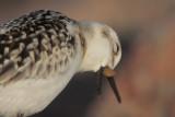 Sanderling casting a pellet