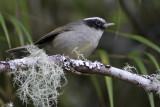 Black-cheeked Warbler