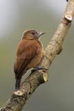 Smoky-brown Woodpecker