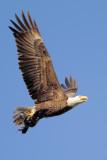 Bald Eagle w/American Coot