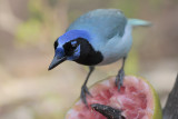 Blue Green Jay