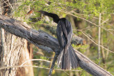 Anhinga eating crawfish