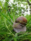 Burgundy Snail or Helix pomatia